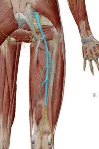 こんばんは!腰痛治療家の志村です。本日は坐骨神経痛で足先への痺れがある方への対処方法をお伝えしていければと思います。